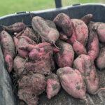 A wheelbarrow containing a 19.5 kg crop of sweet potatoes.